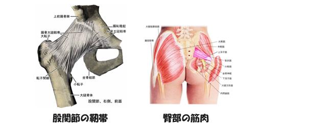 男女の骨盤のつくりの違いのイメージ